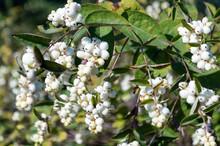 Symphoricarpos Albus Berries