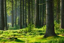 Unberührter Naturnaher Fichtenwald Im Warmen Licht Der Morgensonne