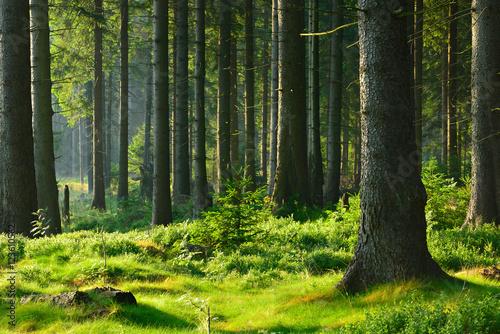 unberuhrter-naturnaher-fichtenwald-im-warmen-licht-der-morgensonne