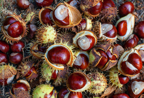 Fallen from the trees and peeled chestnuts in the shell lying on the ground Autumn October afternoon outdoors
