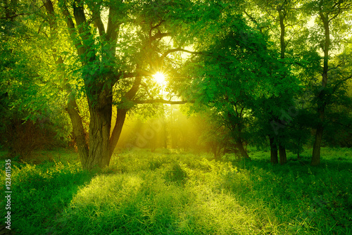 Papiers peints Forets Black Locust Tree on Clearing in the Forest Illuminated by Sunbeams through Fog