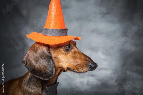 jamnik-w-przebraniu-na-halloween-z-kapeluszem-na-glowie