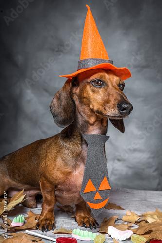 Deurstickers Franse bulldog Dachshund funny dog dressed for halloween