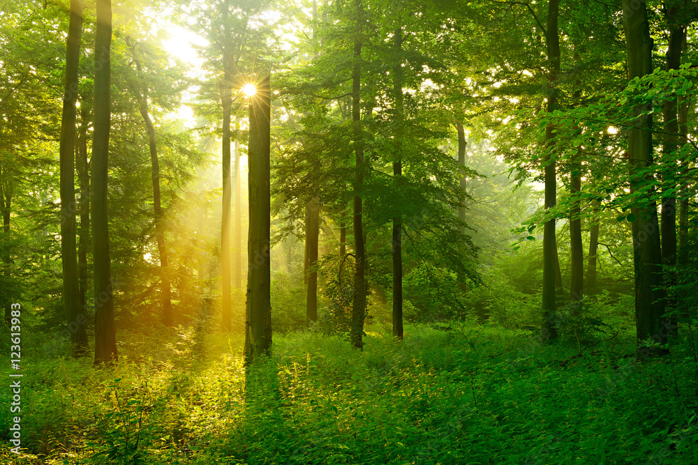 Fototapety, obrazy: Forest of Beech Trees Illuminated by Sunbeams through Fog, dense underbrush