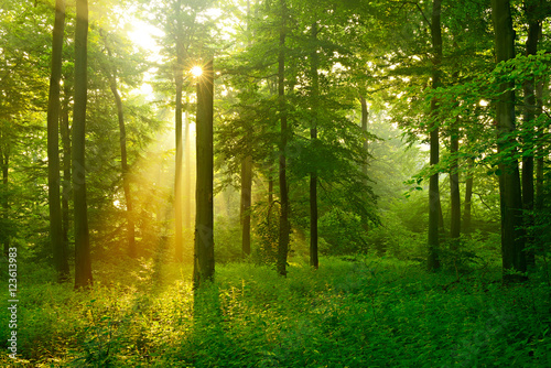 Garden Poster Forest Forest of Beech Trees Illuminated by Sunbeams through Fog, dense underbrush