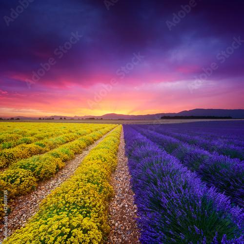 Garden Poster Lavender Champ de lavande et d'immortelle