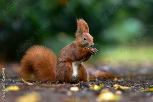 Foto op Canvas Eekhoorn Eichhörnchen sammelt Nüsse, Herbst im Park