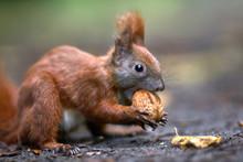 Kleines Eichhörnchen Knackt Eine Walnuss