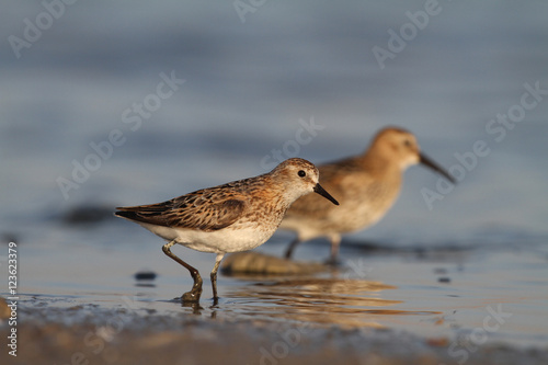 Fototapeta Little stint and dunlin
