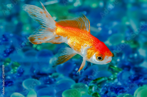 Obraz na plátne Gold fish goldfish single one in aquarium close up