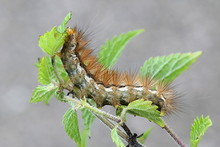 Caterpillar Of Buff Ermine, Spilosoma Luteum, Feeding On Stinging Nettle