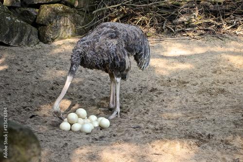 Weiblicher Vogelstrauß beobachtet Eier