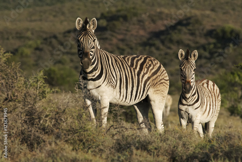 Poster Zebra Burchell's Zebra, Equus quagga burchellii, Karoo National Park, South Africa