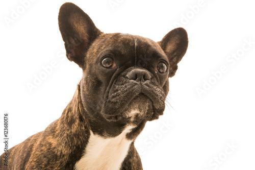 Foto op Plexiglas Franse bulldog Französische Bulldogge Hund