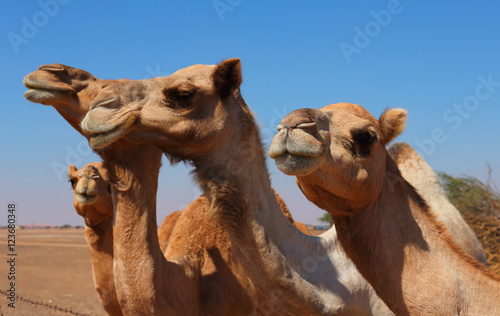 Spoed Fotobehang Kameel Camels on the farm