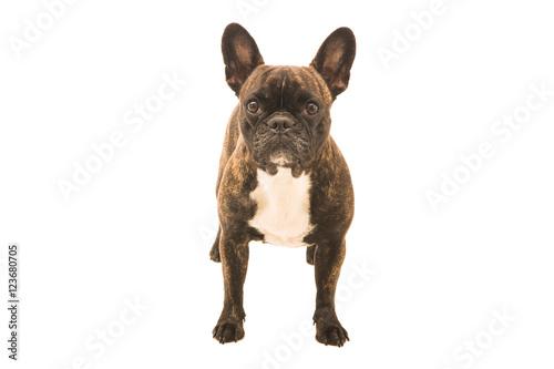 In de dag Franse bulldog Französische Bulldogge Hund