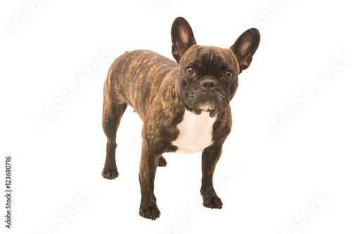 Foto op Canvas Franse bulldog Französische Bulldogge Hund