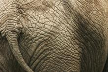African Elephant, Loxodonta Africana, Skin Detail, Kruger National Park, South Africa