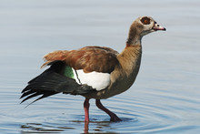 Egyptian Goose, Alopochen Aegyptiaca, Kruger National Park, South Africa