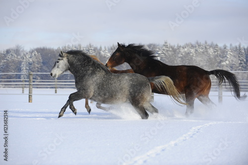 Obrazy na płótnie Canvas Pferde im Schnee