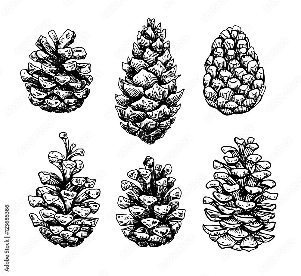 Fototapety, obrazy: Pine cone set. Botanical hand drawn vector illustration. Isolate
