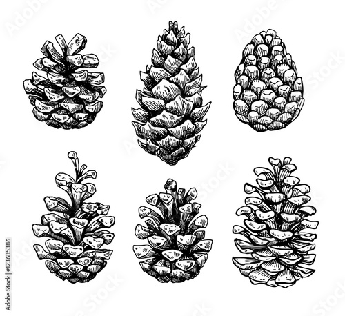 Fototapeta  Pine cone set. Botanical hand drawn vector illustration. Isolate