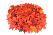 Red Maple Leaves Background In Autumn On White Background
