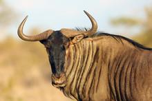 The Blue Wildebeest (Connochae...
