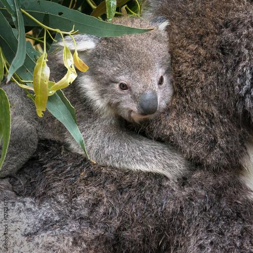 Staande foto Koala Baby Koala