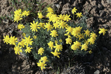 Narrow-leaved Goldenweed - Ste...