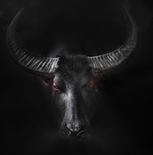 Angry Ox Portrait
