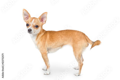Fototapeta Small chihuahua dog