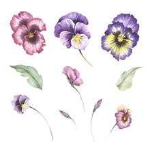 Set Of Flowers Pansies. Hand Draw Watercolor Illustration