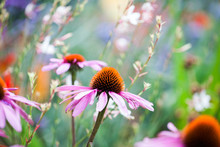 Beautiful Echinacea Flowers In Kew Gardens, London