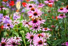Beautiful Echinacea Flowers In...