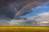 Fototapeta Tęcza - Big rainbow in agricultural fields with lone tree