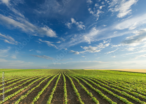 Garden Poster Culture Young soybean crops at idyllic sunny day