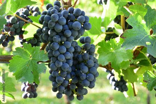 Fotografie, Obraz  Cabernet Sauvignon for red wine