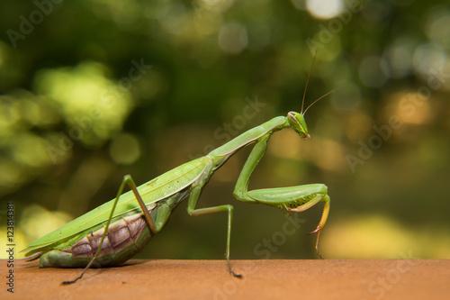 Fotografie, Obraz  Mantide in the nature