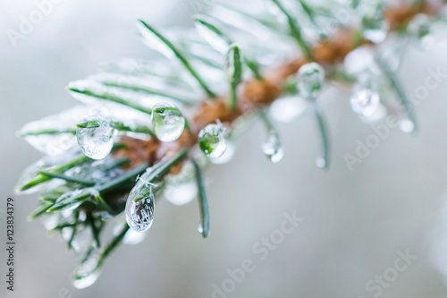 Spruce twigs. On pins and needles hanging frozen droplets of ice. Poster