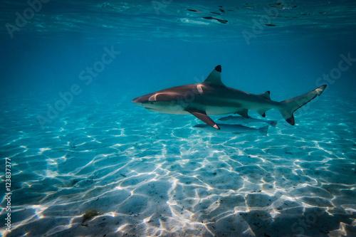 Fotografía Blacktip shark wiht friends