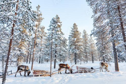 Fotobehang Reindeer safari