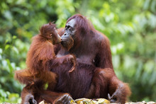 Mother And Baby Orang-utan In Their Native Habitat. Rainforest Of Borneo.