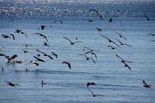 Brown Pelicans And Cormorants Taking Flight
