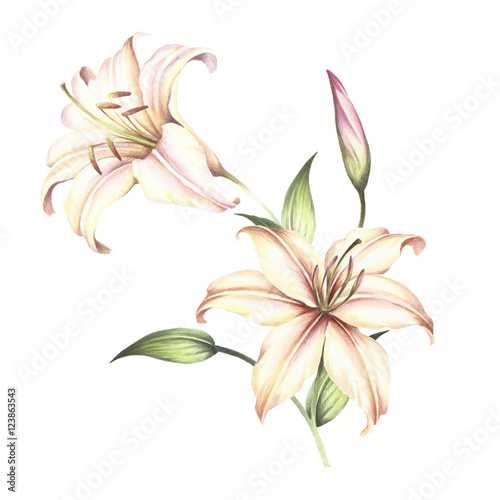 Fotografie, Obraz  The image of a lilies. Hand draw watercolor illustration