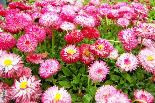 Poster de jardin Dahlia Beautiful pink daisies summer lawn
