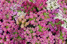 Pink, White, Purple Alyssum Flower Bed