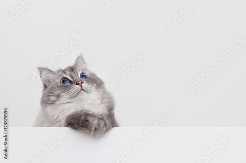 Photo  cute ragdoll cat with copyspace on white background