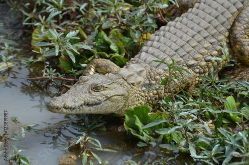 Young cocodrile near waterhole in Selous Game reserve in Tanzania east Africa