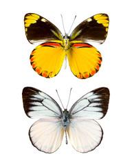 Cepora laeta butterfly
